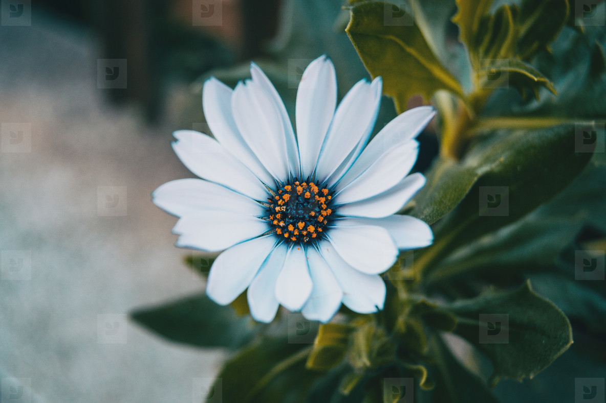 Close up of an isolated white flower of osteospermum ecklonis