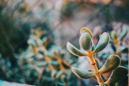 Close up of an echeverria branch