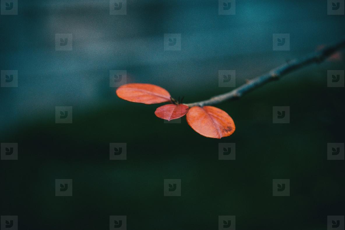 Close up of three small red berberis thunbergii leaves