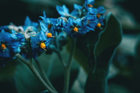 Close up of blue and yellow flowers of Solanum giganteum