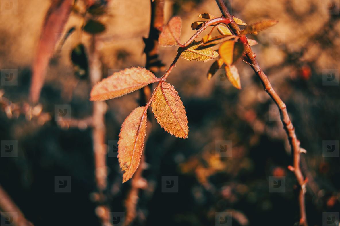 Red and orange leaves of rubiginosa rose in autumn