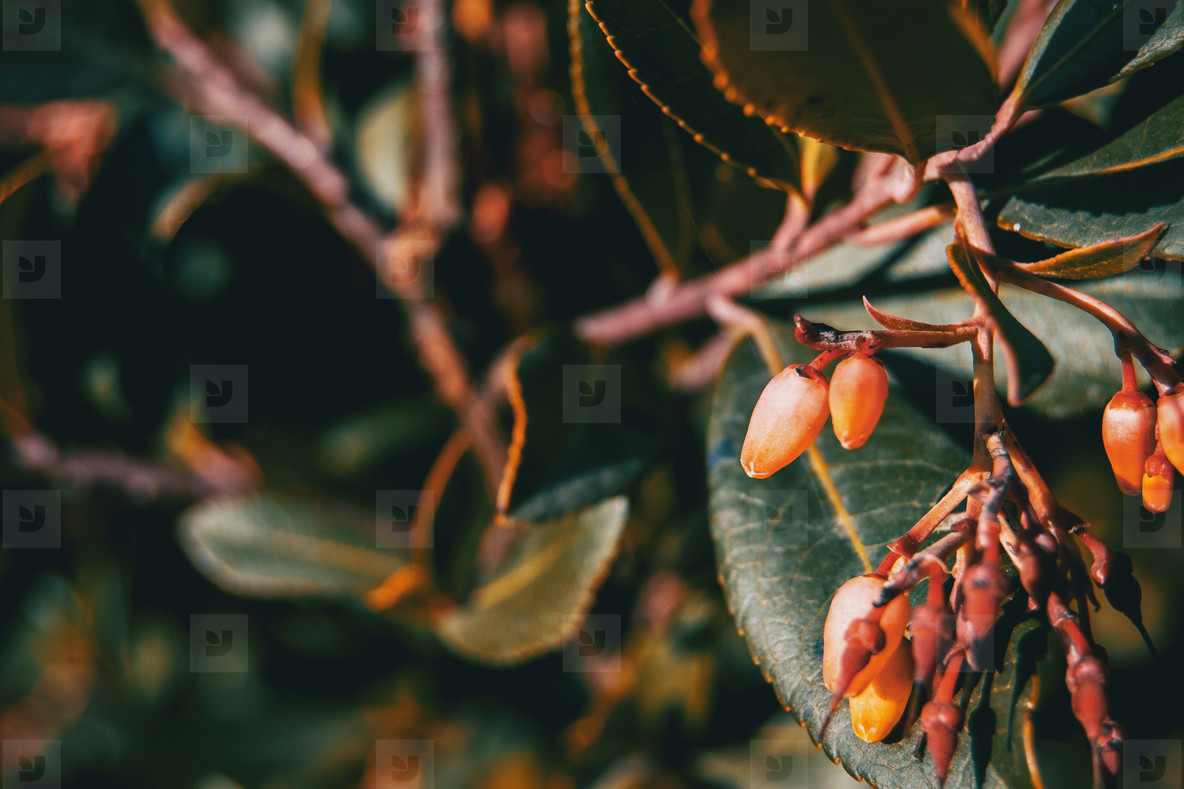 Close up of arbutus unedo flowers