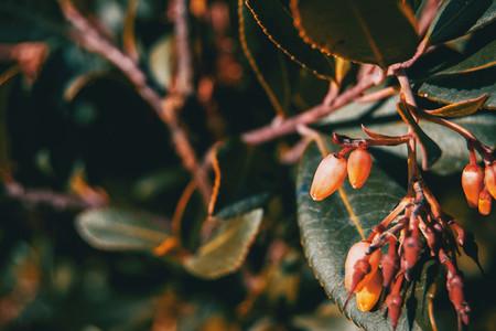 Close up of arbutus unedo flowers
