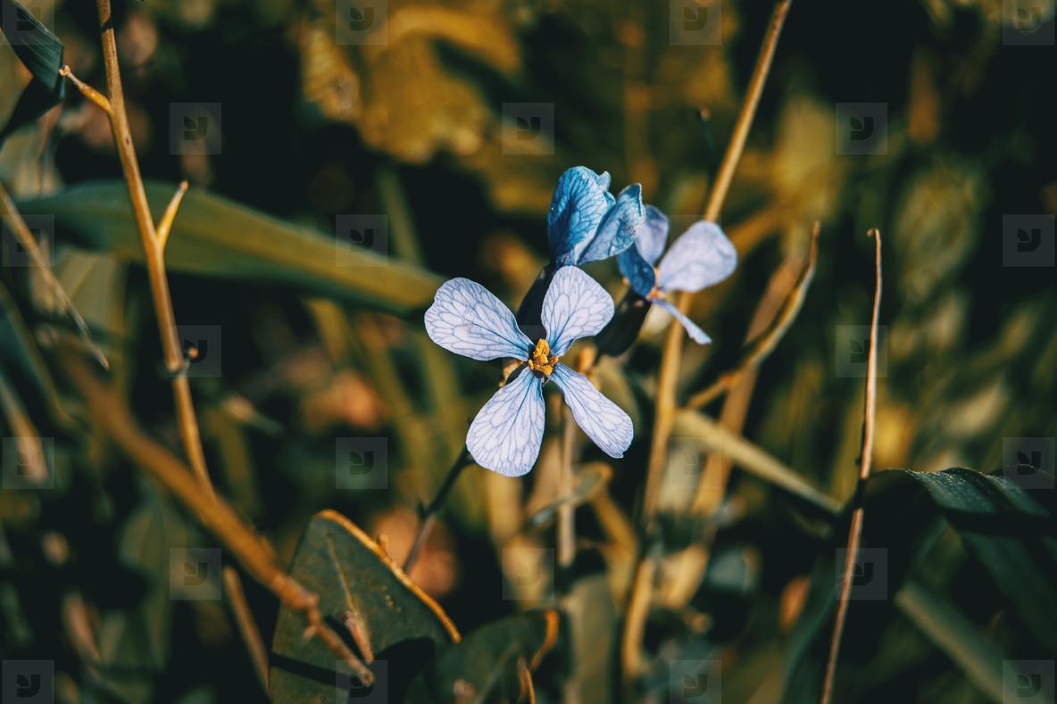 closeup of raphanus lilac flower