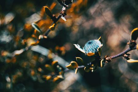 Blue flower of globularia alypum on nature