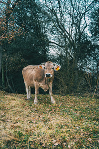 Portrait of a cow looking at camera