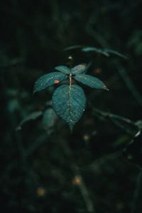 Close up of leaves rosa setigera