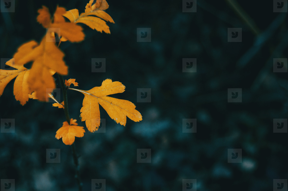 Close up of an orange leaf of crataegus monogyna
