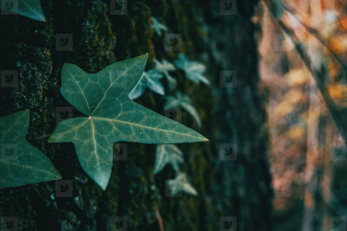 Close up of an isolated ivy leaf