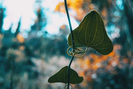 Close up of smilax aspera leaf