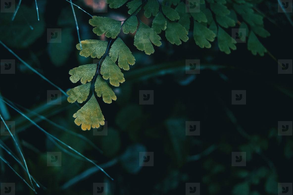 Close up of adiantum cuneatum leaves