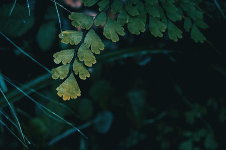Close up of adiantum cuneatum leaves