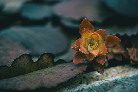 Leaves that look like succulent plants flowers red and yellow