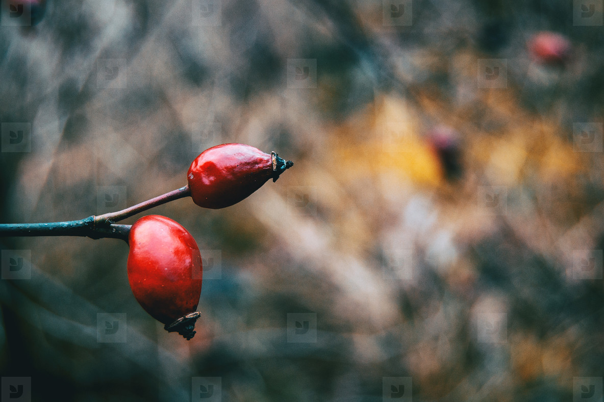 Close up of two red berries