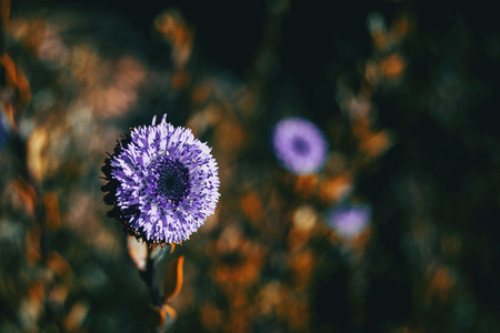 Close up of a lilac flower of globularia alypum with sunset ligh