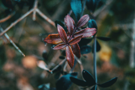 Close up of purple leaves of rubia peregrina