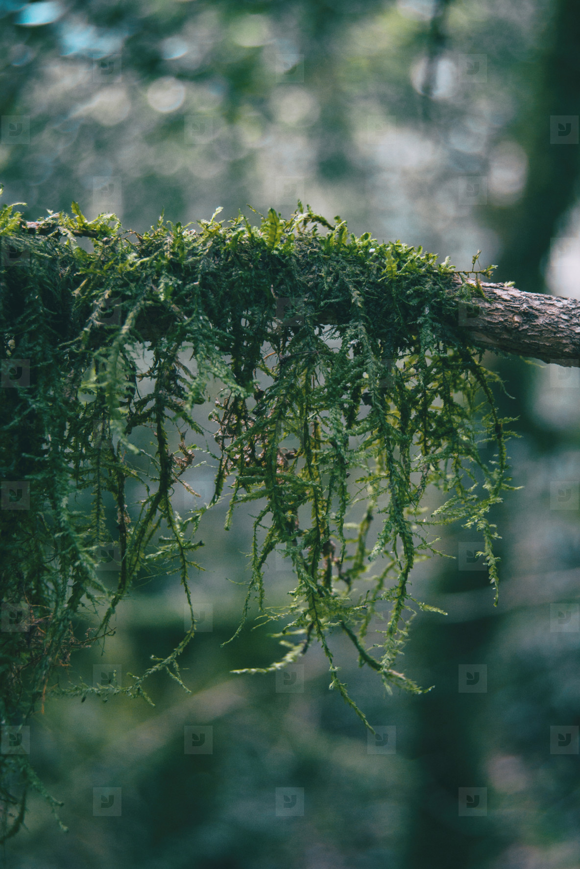 Close up of moss hanging on a branch