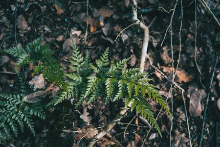 A leaf of asplenium adiantum nigrum