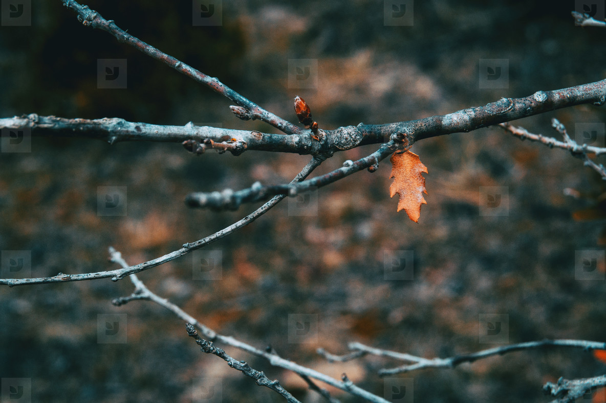 Isolated small and orange leaf of Quercus pubescens on a branch