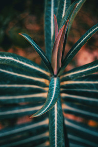 Euphorbia leaves in the nature