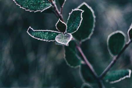 Close up of frozen leaves of cistus salviifolius
