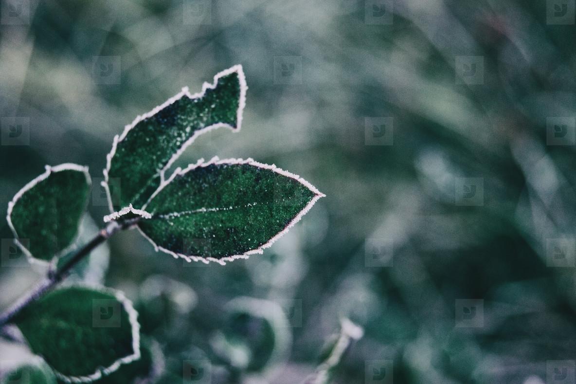 Close up of frozen leaves of cistus salviifolius