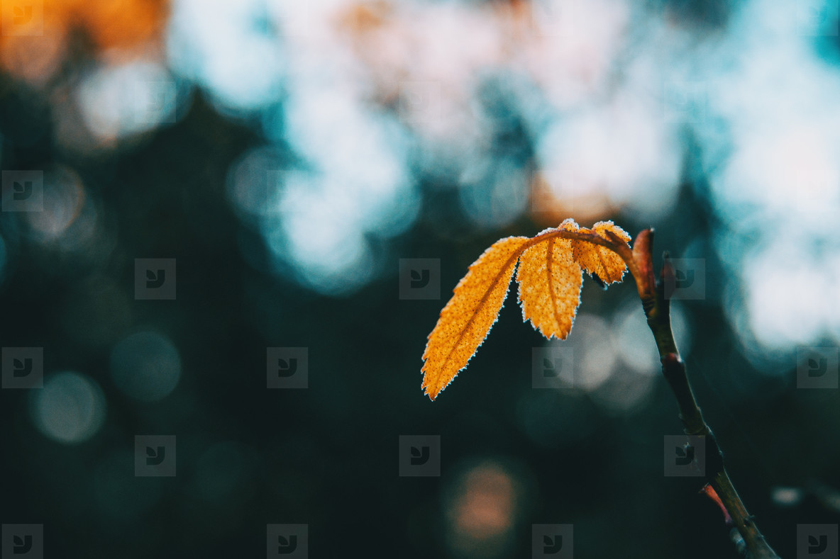Close up of some isolated yellow leaves of rosa rubiginosa