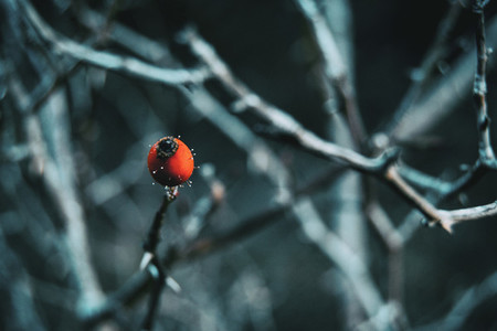 Close up of a red and round fruit in a winter and snow environme