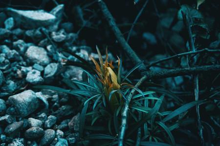 Close up of helleborus foetidus plant