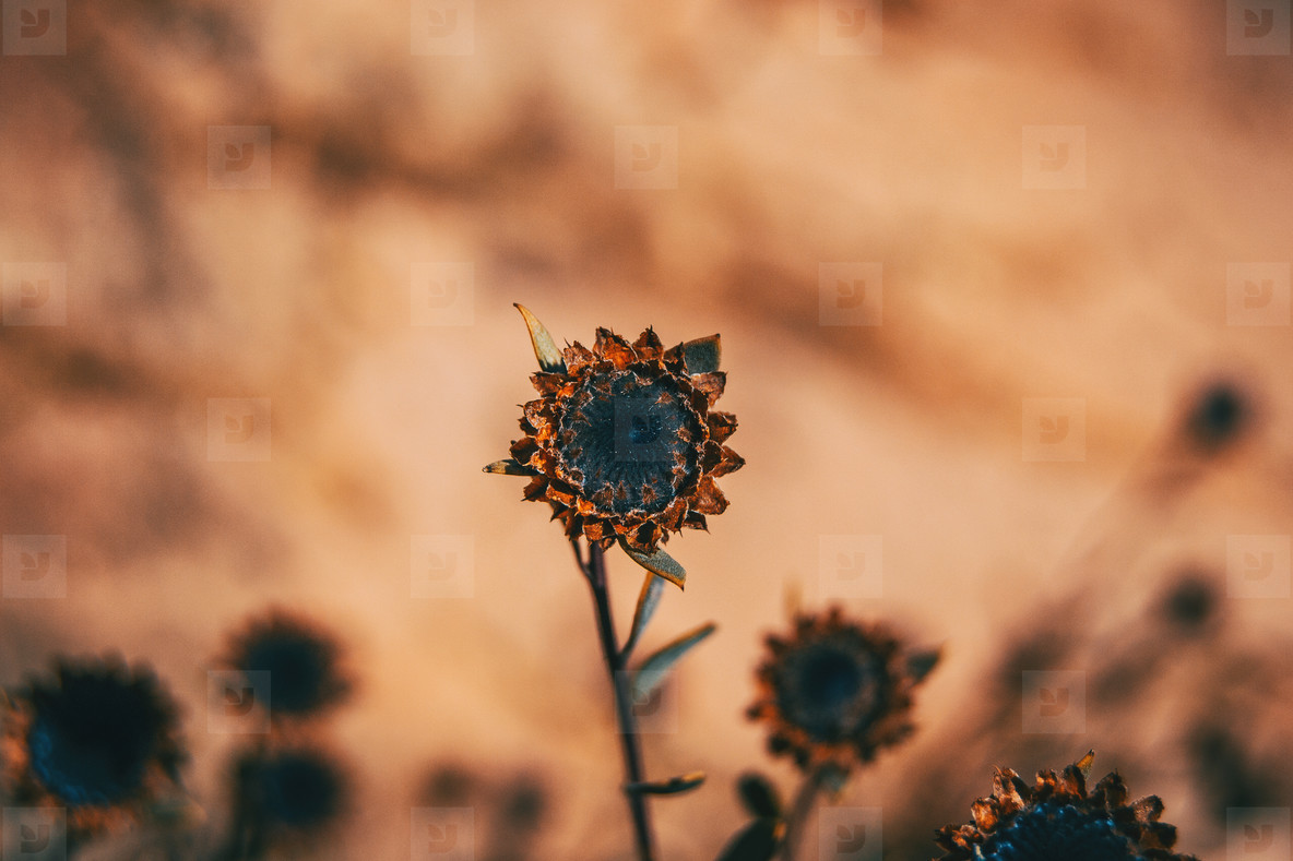 Close up of a dried flower of globularia alypum