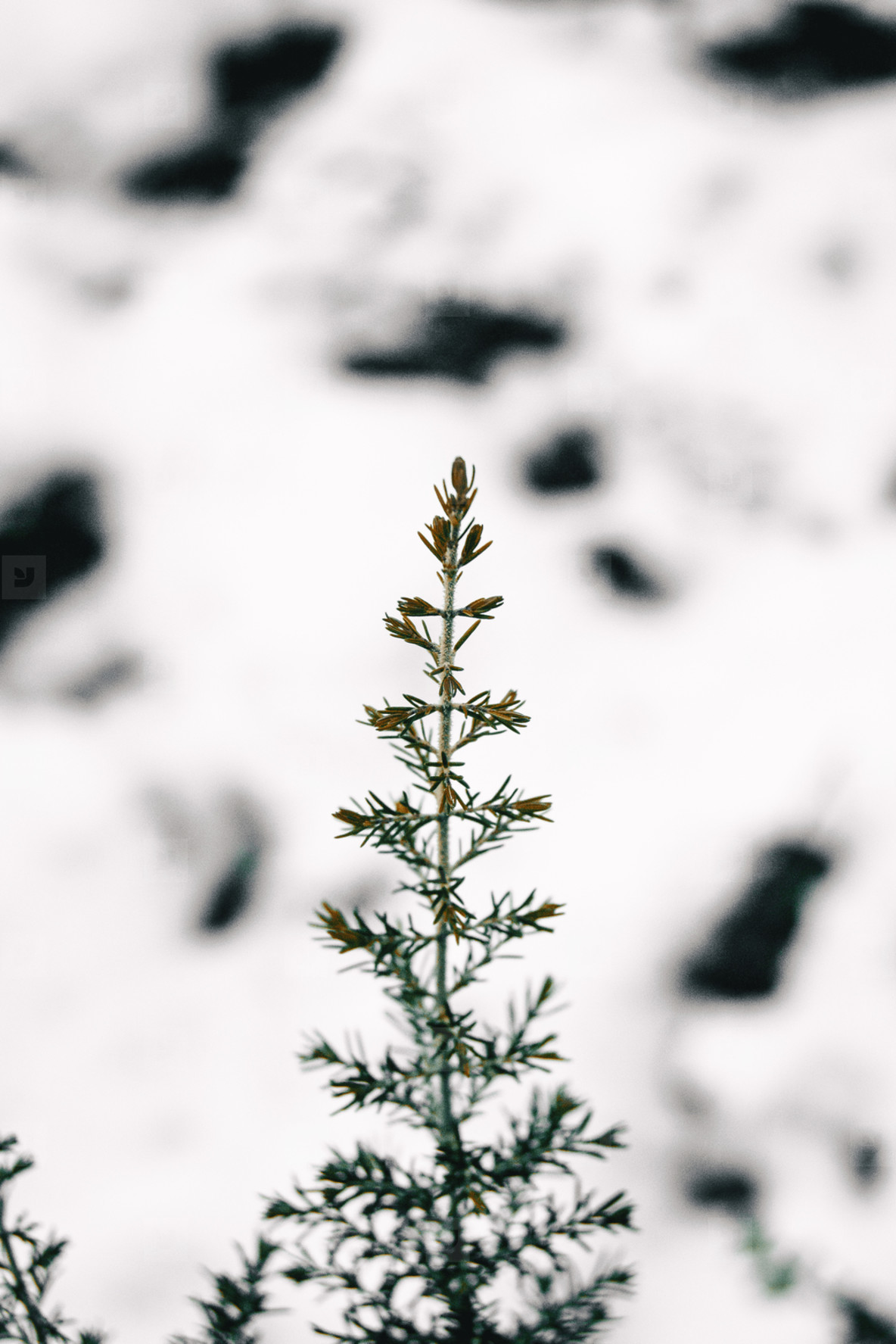 Isolated branch with a white snow background