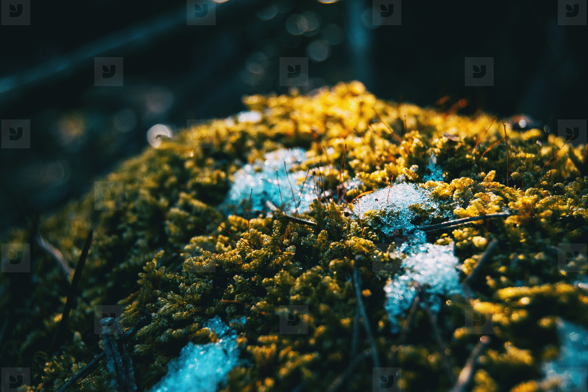 Close up of moss with snow in winter