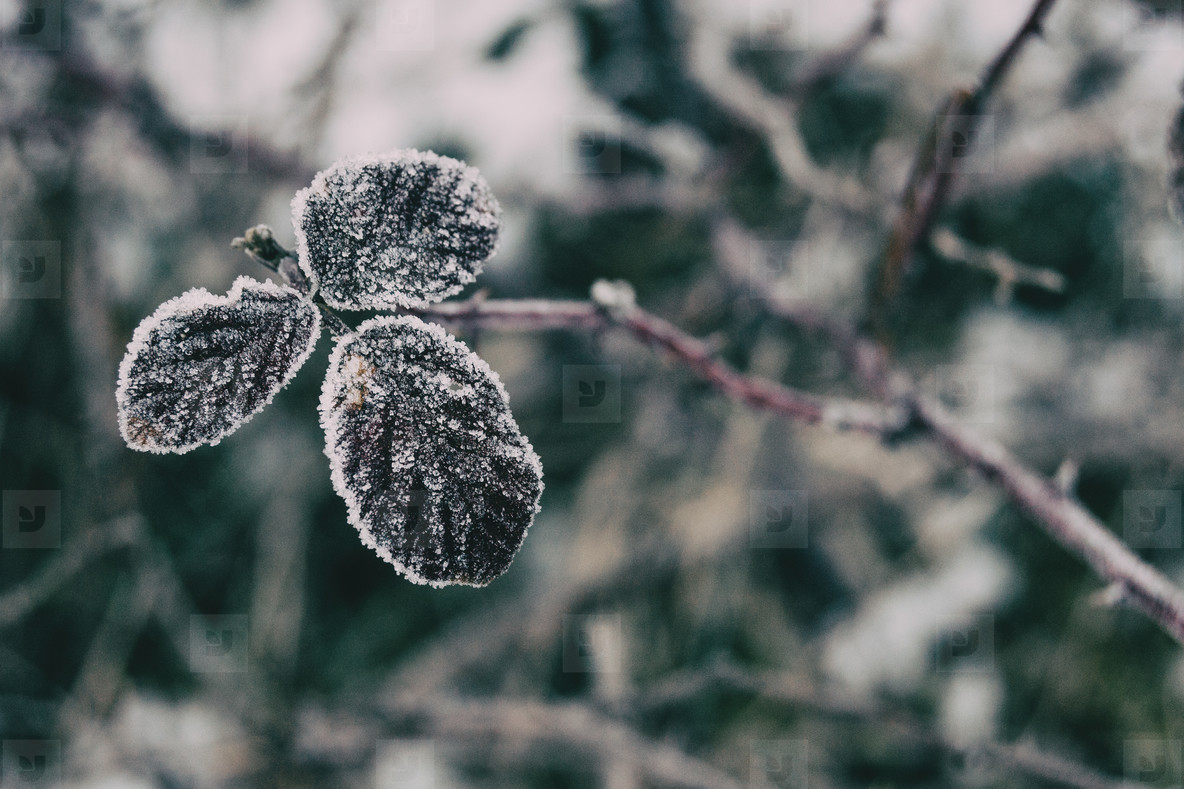 Close up of snowy leaves of rosa rubiginosa
