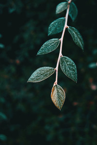Close up of a branch of cotoneaster franchetii