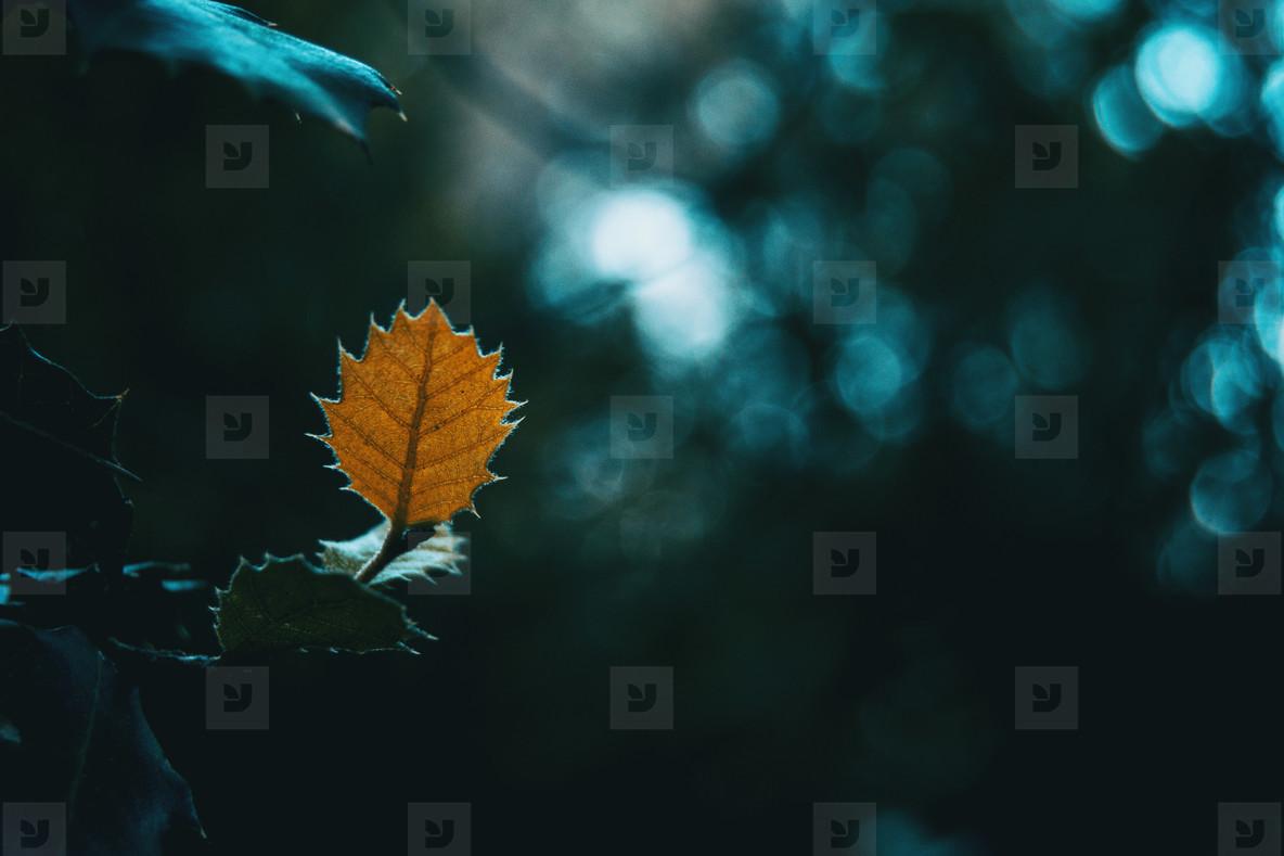 Closeup of isolated orange leaf of quercus ilex