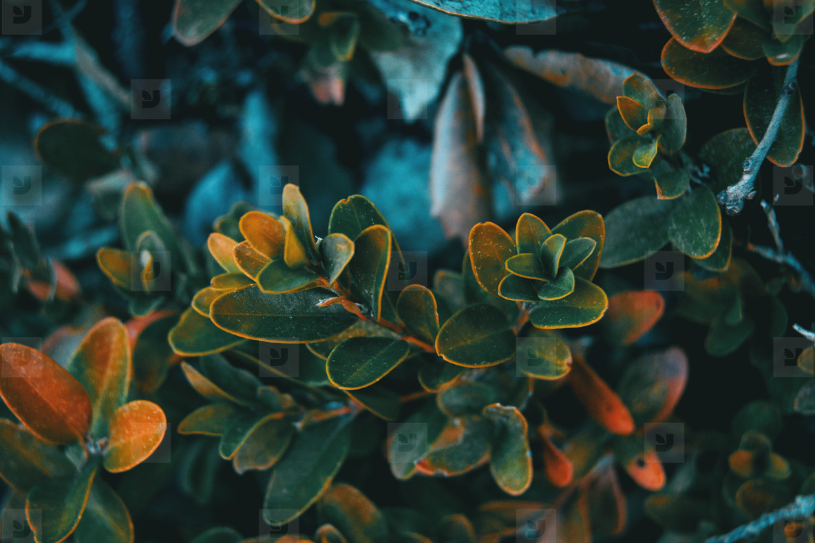 Close up of buxus sempervirens leaves
