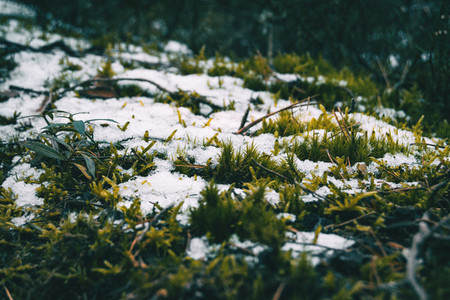 Moss covered by some pieces of snow