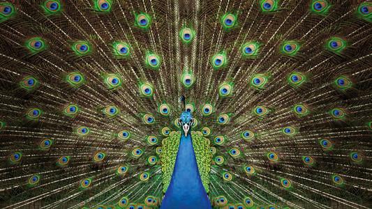 Portrait beautiful peacock
