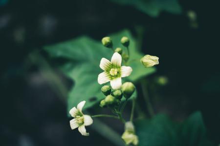 white flora