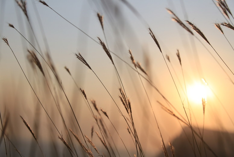 Grass opposite the sun at sunset