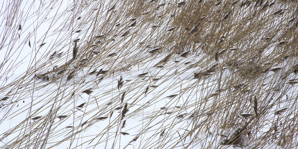 Pattern of dried bulrush in snow