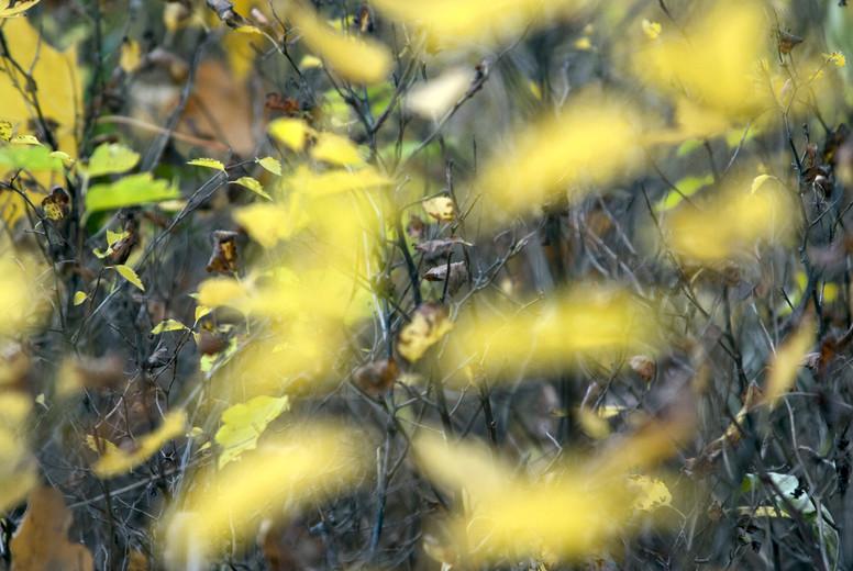 Pattern of yellow bush leaves