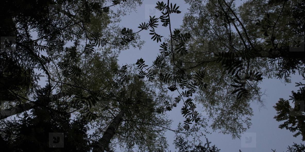 Black trees silhouettes
