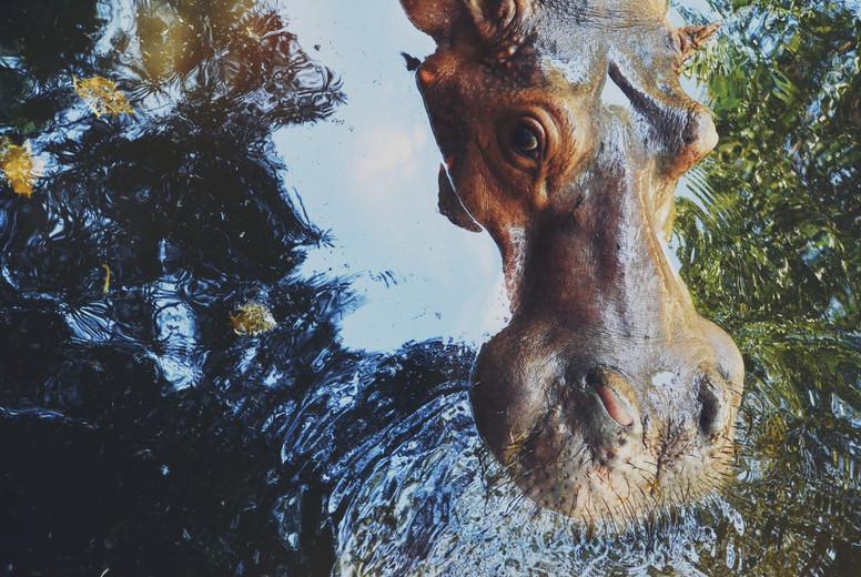 hippo   hippopotamus