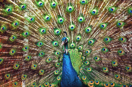Peacock   peafowl