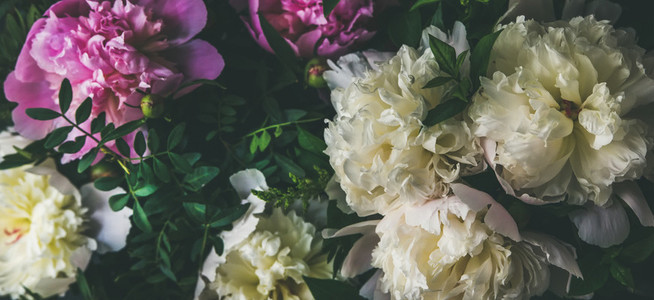 White and pink peony flowers over dark background Natural pattern