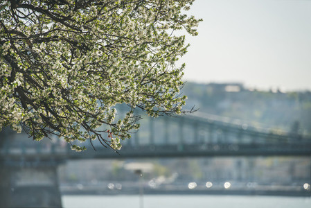 Blooming tree at Danube Pest embankment  bridge at background