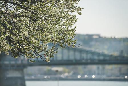 Blooming tree at Danube Pest embankment bridge at background