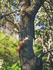 Squirrels climbing tree in Gellert hill park in Budapest Hungary