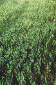 Green Rice Field